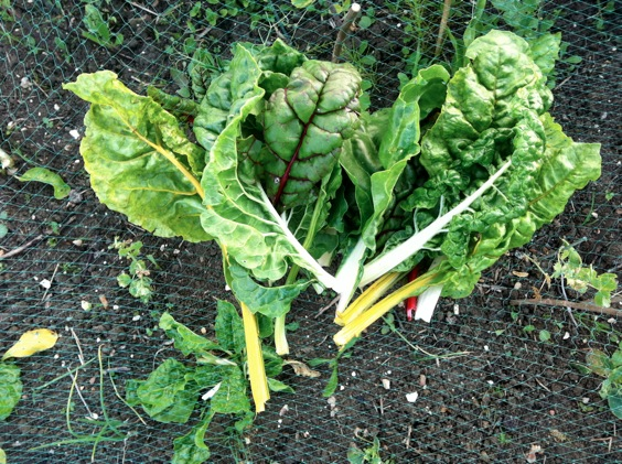 Rainbow chard leaves lying on green netting