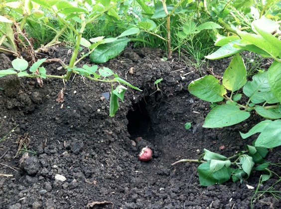 Photo of a hole dug under potato plants