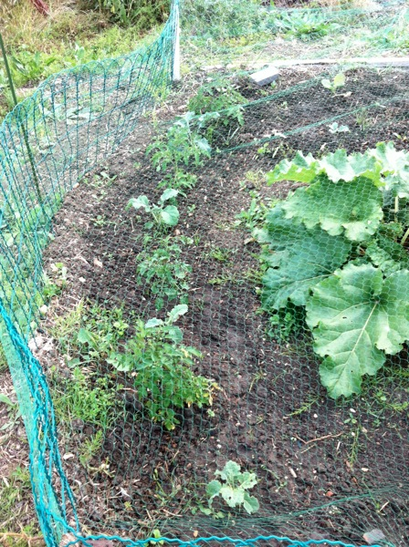 Young tomato plants and sprouting brocolli plants next to a big rhubarb