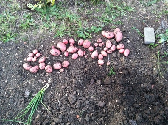 Red skinned potatoes on the ground